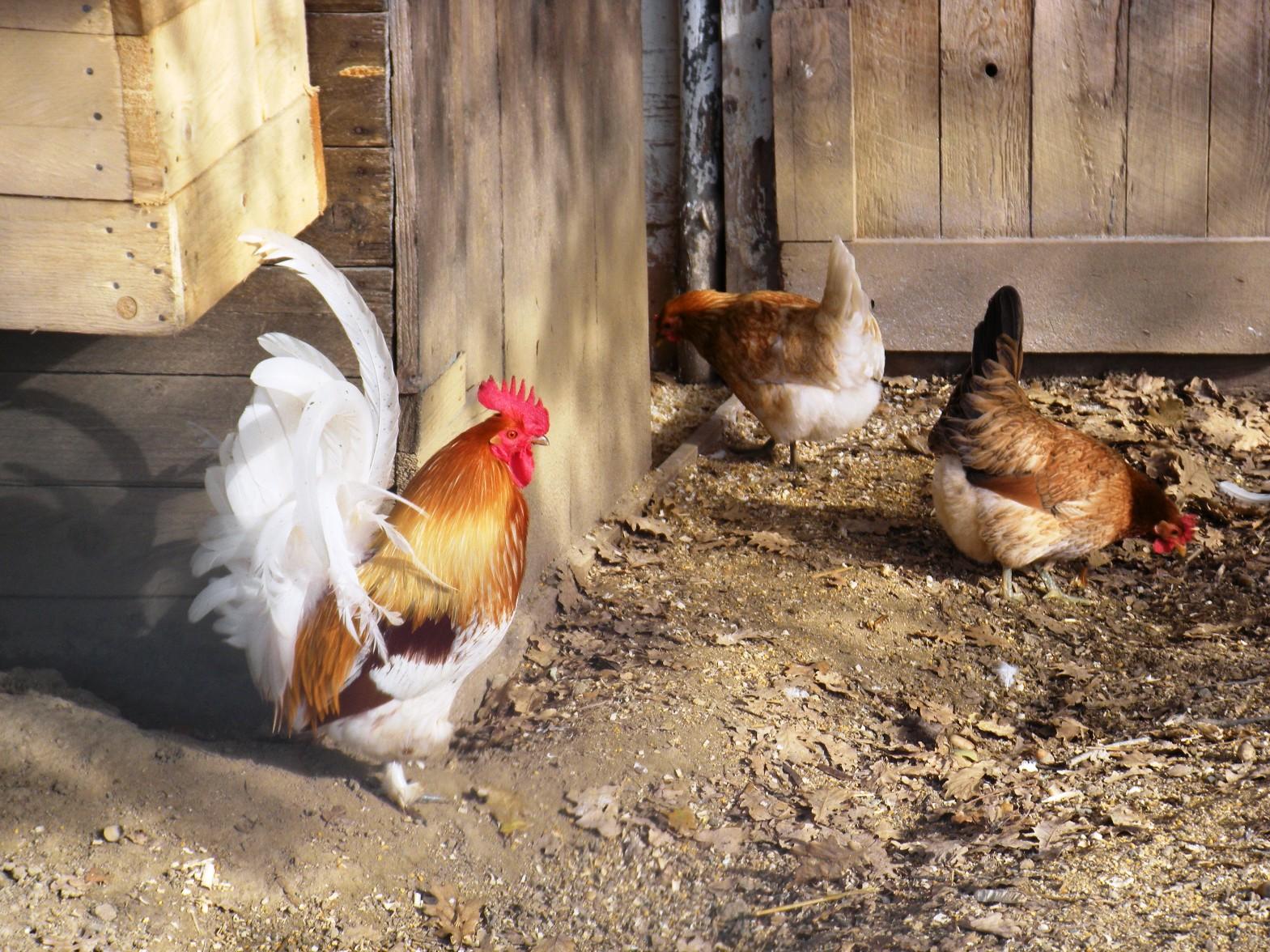 Il gallo e le galline