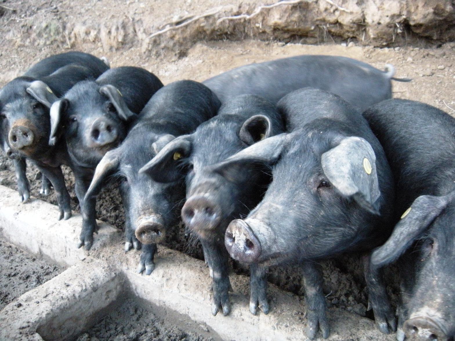 Il maiale nero di Calabria