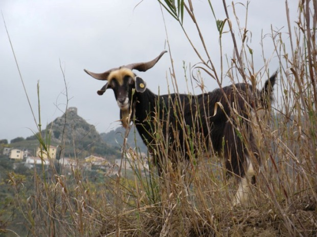 La capra rustica di Calabria